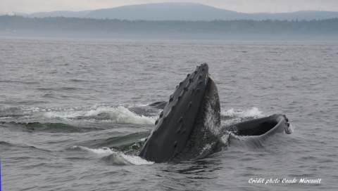 Baleine en alimentation