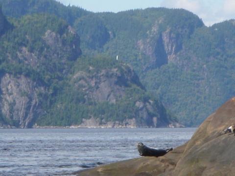 Phoque commun sur le Fjord Saguenay. La vierge Notre-dame-du-Saguenay (arrière)