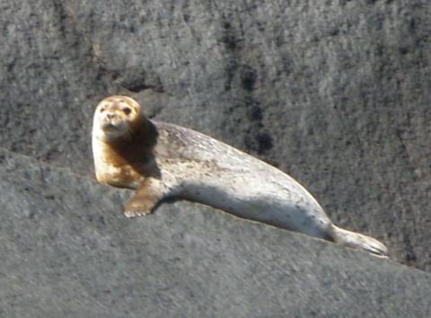 Phoque commun sur le Fjord-du-Saguenay